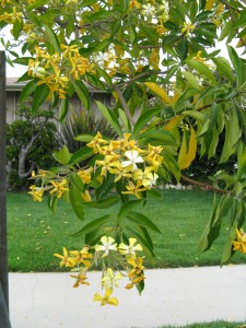 Planting trees city of gardena the sweetshade tree otherwise known as hymenosporum flavum is a small tree which can reach 20 40 feet in height it has very fragrant yellow flowers mightylinksfo